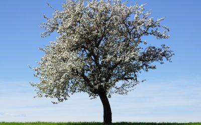 Mitä omenapuu opetti?